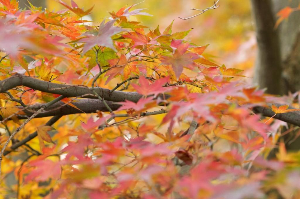 Acer palmatum im Herbstkleid.