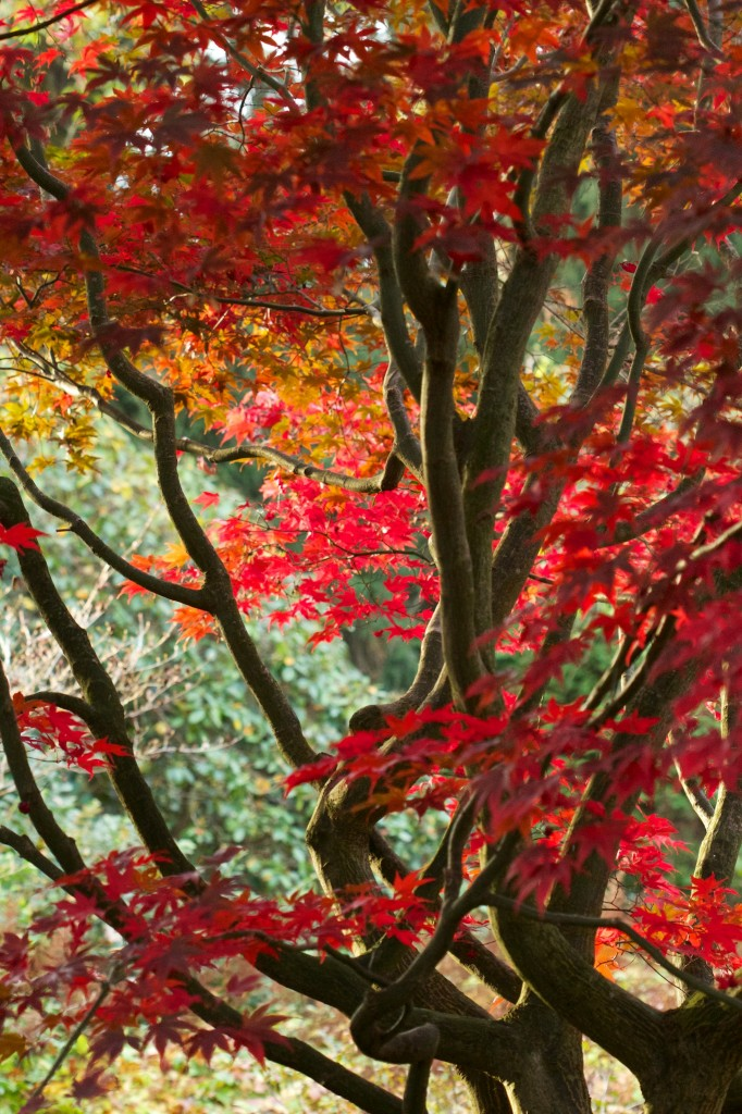 "Acer palmatum ""Bloodgood"" dank tiefroter Blätter praktisch unverkennbar."