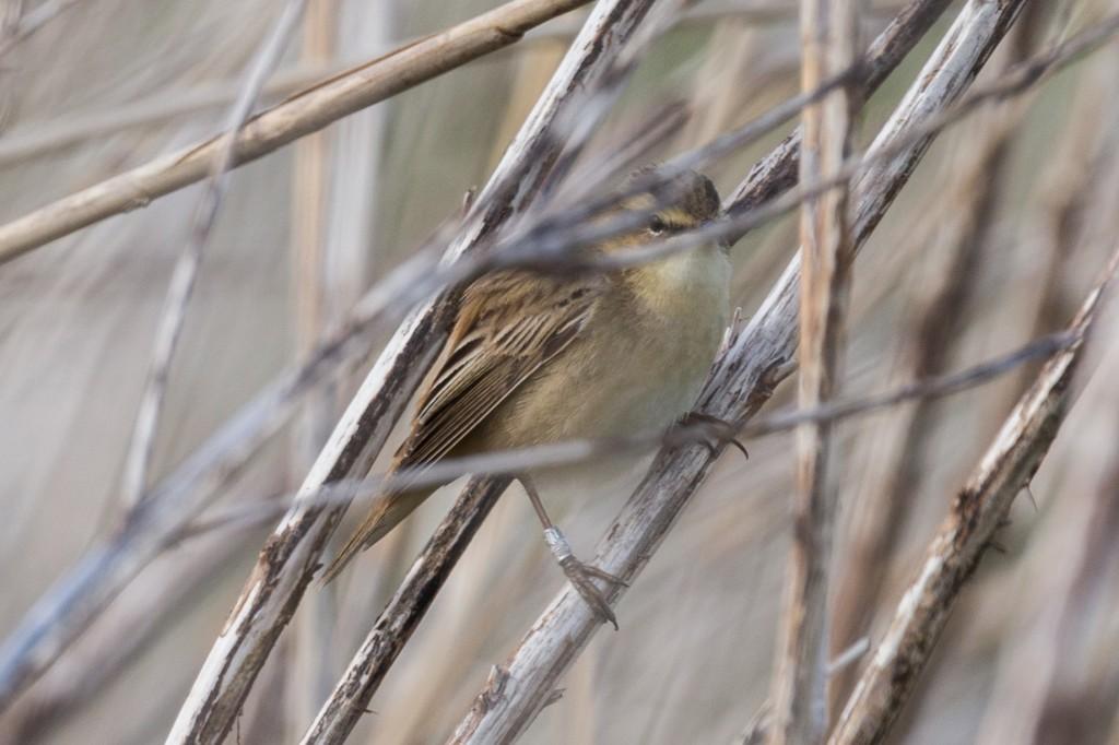 Schilfrohrsänger im Schilf (der Vogel ist beringt) (Bild: B. Knispel)