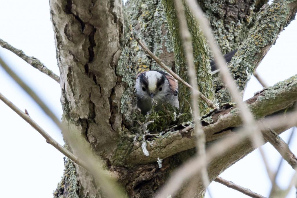 Schwanzmeise beim Nestbau (Bild: B. Knispel)