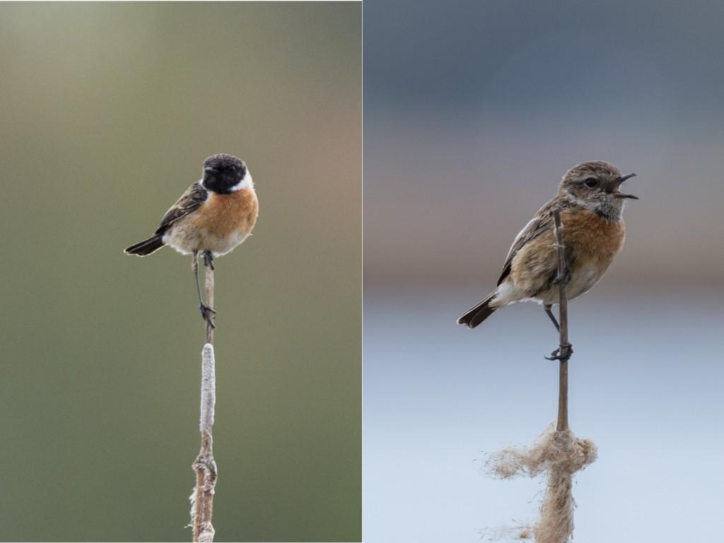 Männliches (links) und weibliches (rechts) Schwarzkehlchen (Bild: B. Knispel)