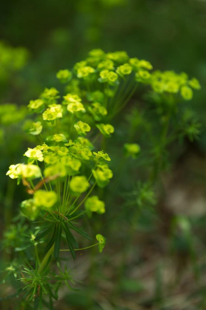 Blühende Zypressenwolfsmilch (Euphorbia cyparissias) (Bild: B. Knispel)