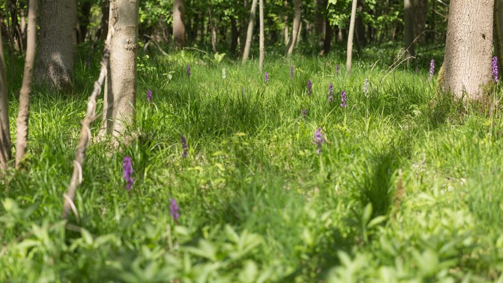 Orchideenwiese mit Knabenkraut in verschiedenen Farben (Bild: B. Knispel)