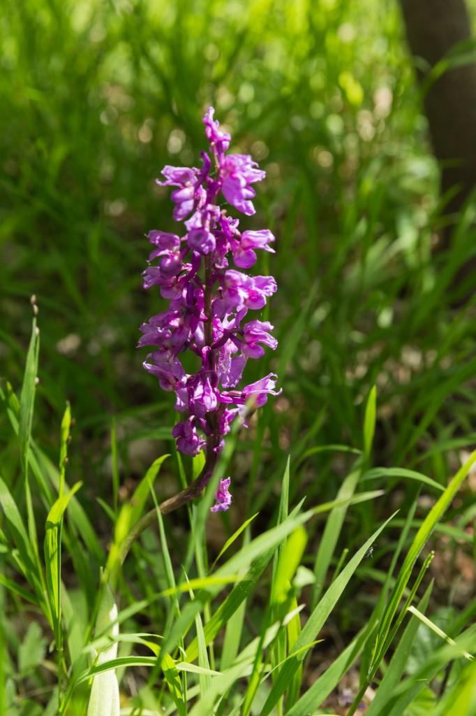 Orchidee (Knabenkraut) im Kalkboden des Buchenwalds (Bild: B. Knispel)