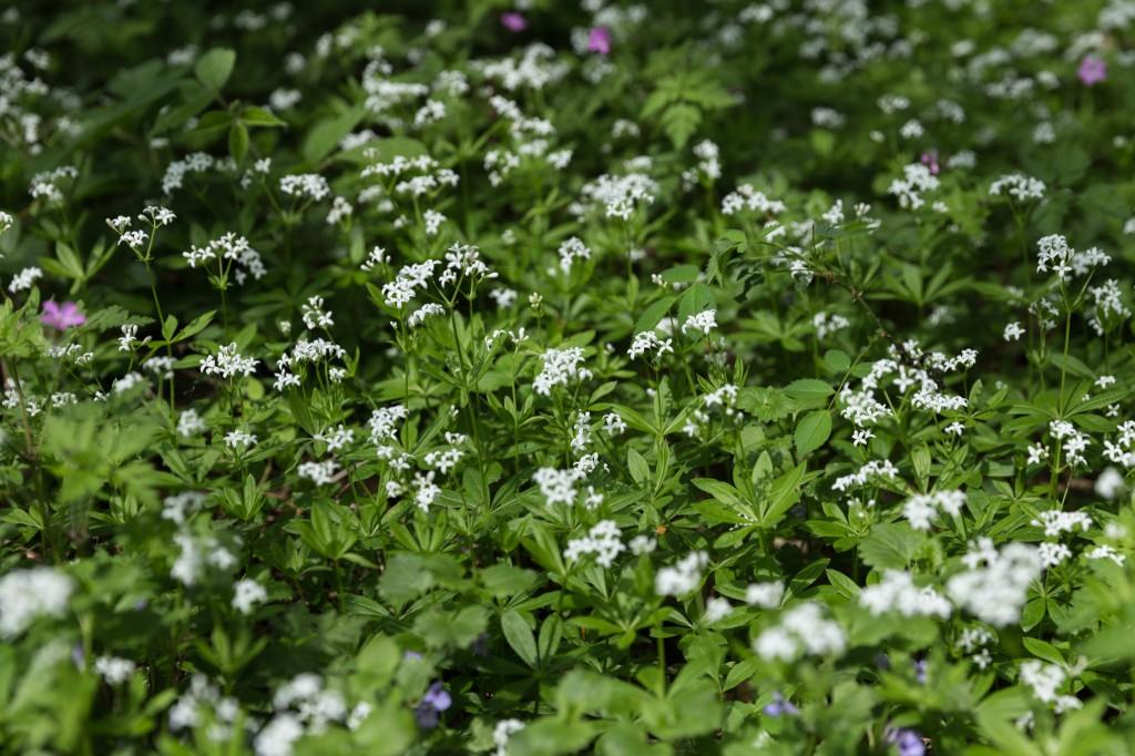 Waldmeister in voller Blüte im Unterholz (Bild: B. Knispel)
