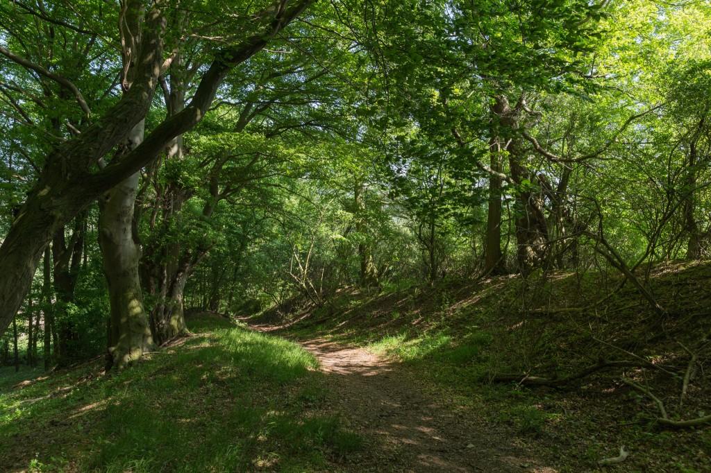 An der alten Landwehr – ein im Mittelalter angelegter Doppelwall, den man mit undurchdringlichen Sträuchern bepflanzte (Bild: B. Knispel)